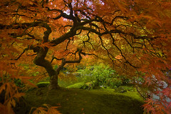 The Memory of Autumn (sweber4507) Tags: autumn red orange fall colors beautiful leaves yellow oregon garden portland gold leaf saturated peace seasons peaceful acer hue sylvan palmatum specturm mywinners abigfave citrit ysplix goldstaraward top20greenish