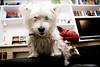 Nika manda (María Baixauli) Tags: dog sexy blanco cane pose nika trufa perra sillón ojitos alturas pelitos imponente sonyalpha100 orejitas trufita casipersona quesecomelacámara