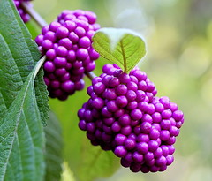 American Beauty Berries (astanse(Angela Stansell)) Tags: november light sc nature beauty gardens campus botanical found berry university berries hand natural south upstate lilac american carolina second colored held angela 2008 soe fuscia clemson amazingcolors empyrean ngs naturesfinest bej beautifulcapture irresistiblebeauty macromarvels natureselegantshots colourvisions gemsofnature astanse