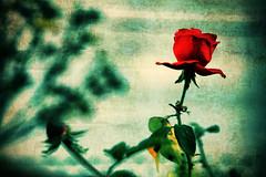 Csak egy szép rózsa / Just a beautiful rose (Balázs B.) Tags: autumn red green fall texture nature leaves rose canon leaf crossprocess fourseasons természet piros zöld ősz levél levelek canonef24105mmf4lisusm vörös rózsa 40d textúra
