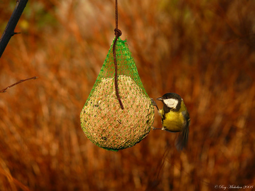 The Great Tit by Motive - / - Roy M.