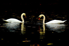 Dinner for Two Please (PapaDunes) Tags: swans reflexions muteswan dwfieldpark brocktonma naturescreations