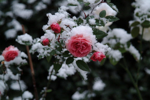 Snow is on the roses