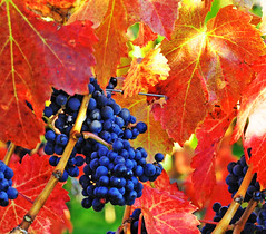Vineyard (Habub3) Tags: nature photo vineyard nikon autumncolors grapes weinberg d300 weintrauben herbstfarben viewonblack habub3 rotewintrauben