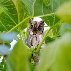Et veig! / I can see you! (SBA73) Tags: bird animal fig catalonia owl stare catalunya pajaro mirada soe figtree higuera figuera buho ocell xot scopsowl mussol otusscops commonfig mywinners autillo aplusphoto lluans