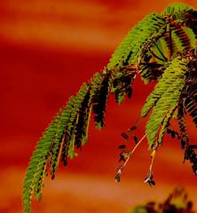 Ochre / Ocra (Giorgio Ghezzi) Tags: plant tree leaves foglie flora ochre albero pianta naturesfinest ocra carrubo bej carab platinumphoto anawesomeshot colorphotoaward rubyphotographer paololivornosfriends