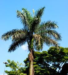 Jerivá (Syagrus romanzoffiana) heart of palm. Brazilian tree.