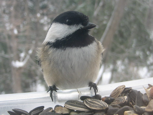 Christmas Bird Count chickadee