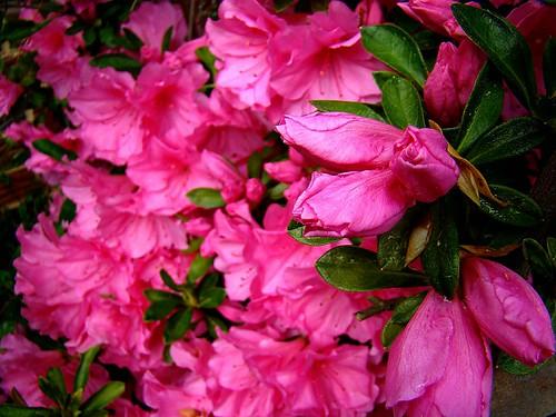 Pink Azalea's 4-3-09 004