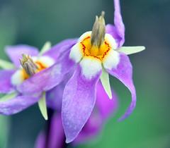 Shooting Star (NancelAnders) Tags: flowers macro wildflowers grandtetonnationalpark shootingstar potofgold
