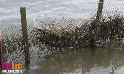 Barnacles are hermaphrodites, i.e. both male and female, and other Sungei Buloh tales
