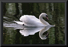 Swan Reflection (Dave Mc Is Back) Tags: park england reflection bird beautiful birds reflections swan northampton mr pentax bigma feathers sigma swans freehand reflectionsof waterfowl 1001nights cob reflexions iso1600 mtr barnwell k7 trophyshot sigam barwell barnwellpark oundel sigma150500mm mirrorser 1001nightsmagiccity