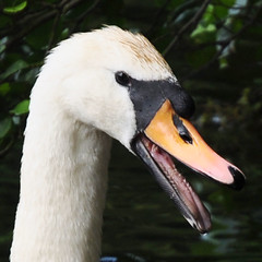 "Swan's ""teeth"" (Images George Rex) Tags: uk england lake london swan pond unitedkingdom britain teeth swans gb cob mere merton cygnets wimbledoncommon muteswan cygnusolor queensmere ccbysa englishlandscape tomia londonboroughofmerton grxa23 swanmale queensmereswans2011 imagesgeorgerex photobygeorgerex"