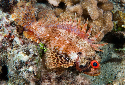Hawaiian Green Lionfish