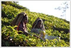 """Its my job"" (Intrudr) Tags: malayalikkoottam expeditiontodewilds kfm3 malayalikkottamkfm3 tea estate pruning plucking workers valparai nikon nikond40 d40 mohanrajnet mohanrajk mohanraj"