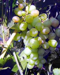Фото 1 - Виноград против рака