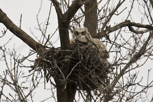 Great-horned Owlets Nest
