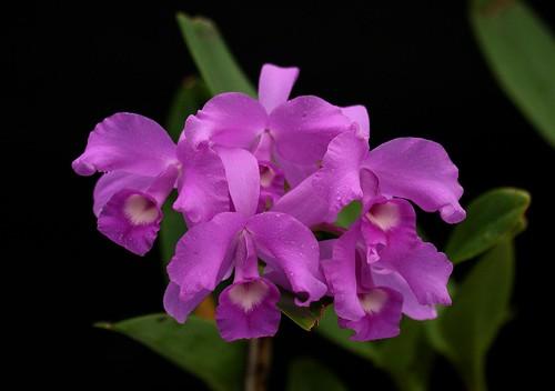 Cattleya skinneri 'Cabeza Grande'