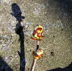 Sticky bud shadow (tina negus) Tags: shadow tree lincolnshire chestnut buds horsechestnut stickybuds mywinners mywinner culverthorpe coolestphotographers