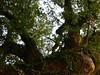 竹山鎮中和里救人老茄苳樹DSCN6032