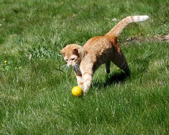 Bill the football player (Miss Claeson) Tags: grass cat ball ginger football spring nikon play sweden dalar nikond80
