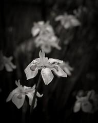 Between Us (*Vix*) Tags: park parque bw white black flower blancoynegro fleur contrast stem dof gloomy bokeh flor bn contraste abouttorain bn052008