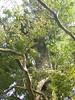 96.11.16竹崎鄉光華村茄苳風景區內的茄苳老樹DSCN3208