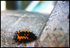 First Bug of the Season... (blonde_sage) Tags: macro insect ladybird spikey larvae ladybuglarvae unknownbug