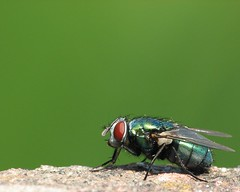 Greenbottle (Dioctria (David)) Tags: wallpaper fly greenbottle diptera raynoxdcr250 canonpowershots3is vc55