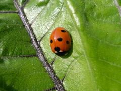 Schlafender Marienkfer (mibuchat) Tags: sleeping leaf ladybird ladybug schlafend makro blatt snoring marienkfer schnarchend