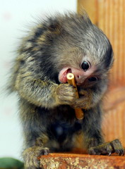 Marmoset (floridapfe) Tags: baby cute animal zoo monkey nikon ago minutes marmoset everland naturesfinest aplusphoto theperfectphotographer