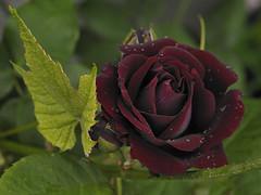 Souvenir du Dr. Jamain (Britta's photo world) Tags: red rain rose nikon droplet britta d3 deepred fragrance blackrose excellence hybridperpetual 60mmf28dmicro niermeyer golddragon macroflowerlovers superbmacroflowers souvenirdudrjamain