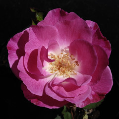 THE Seedling: Ayshire Child (Britta's photo world) Tags: pink plant flower rose bravo fragrant britta seedling excellence 60mmf28dmicro niermeyer mywinners 4mazingorgeoushotsoflowers awesomeblossoms flickrflorescloseupmacros mandalalight ayshirechild hybridarvensis
