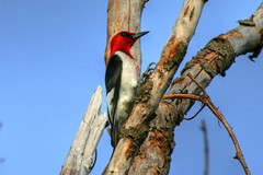 Red-headed Woodpecker {Melanerpes erythrocephalus} by Birdfreak.com