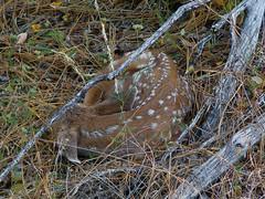 newborn mule deer fawn