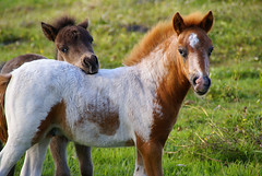 the young ones (atsjebosma) Tags: two fab horse nature thenetherlands natuur explore groningen frisky grazing buiten weiland paard foal outsite speels veulen golddragon impressedbeauty