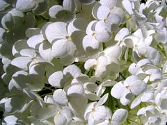 Schneeballhortensie Annabelle (Martin Volpert) Tags: flower blossoms blumen hydrangea garten hydrangeaceae mavo43 schneeballhortensie