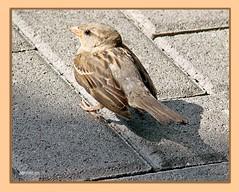 Spatz nach dem Frühstück - sparrow after breakfast