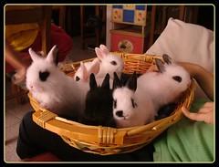 Un cestino (Chiarissima) Tags: pets bunnies lapin coniglietti
