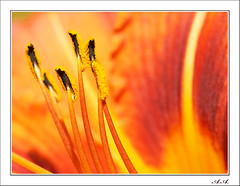 Radiantes estambres (olyverde2007) Tags: madrid red naturaleza flores flower macro nature closeup rojo flor olympus daylily e3 botany botanique zuiko flore botánico stamina uro estambres 70300mmed flordeundía
