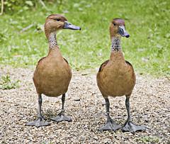 TWO OF A KIND  `````` Out walking (Ben124.) Tags: park summer grass birds walk ducks twp pfogold herowinner
