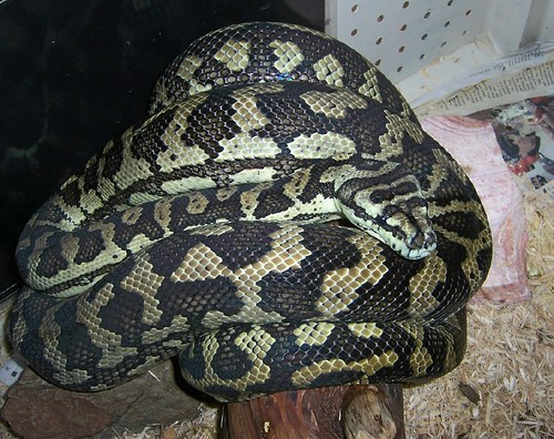 Coastal Carpet Python (M. spilota mcdowelli), Adult Female