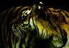 . Coelacanth . (3amfromkyoto) Tags: animal cat fur big tiger whiskers coelacanth 3amfromkyoto flickr:user=3amfromkyoto