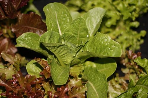 lettuce garden2