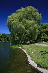 Weeping Willow, Grenadier Pond, High Park, Toronto (Tony Lea) Tags: park toronto ontario canada west tree green public water canon eos high pond highpark lookout tony willow shore lea anthony mm 1855 polarizer weeping grenadier grenadierpond xti tonylea anthonylea