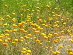 Macchiettato di giallo (alfiererosso) Tags: flowers flores nature yellow meadow blumen natura amarillo gelb giallo spotted fiori prato pois maculato delunares