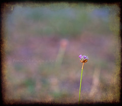 """""""One Is The Loneliest Number That You'll Ever Do"""".......~by Three Bokeh Night. (Lisa Rsten     Fotografix Studios) Tags: pink flower texture bokeh border lonely ghostbones bokehwednesday bokehpalooza"""