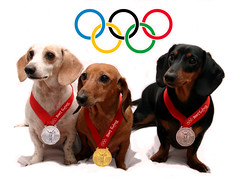 Olympic Watchers (geckoam) Tags: dog pet pepper hotdog sausage dachshund blackdog wiener mocha levi piebald olympics reddog wienerdog dackel teckel medals doxie whitedog olympicgold beijingolympics 2008olympics olympicmedals
