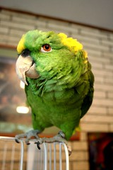 wutchya doin? (dragged to the future) Tags: bird parrot gree amazonparrot birdsitting