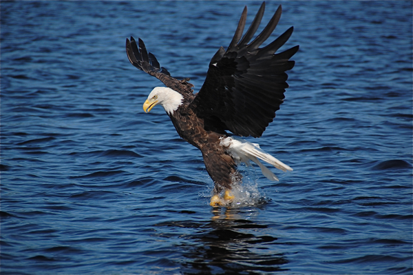 eagle_catching_fish_0024